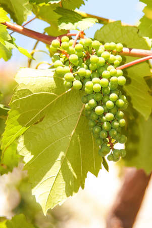 Close up of backlit bunch of green grapes in vineyard hanging from vine ready for harvest with ample of copy-space  photo