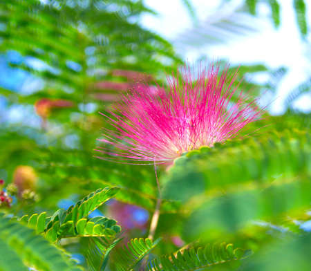Persian silk tree  Albizia julibrissin  foliage and flowers photo