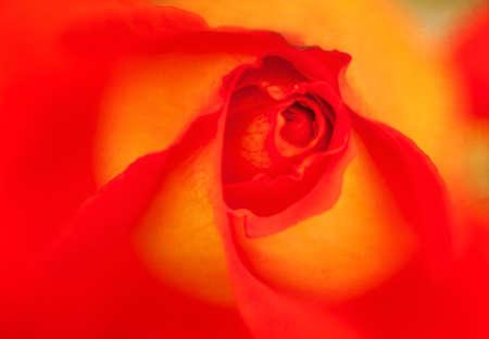 明るい赤と黄色のバラとビンテージ背景