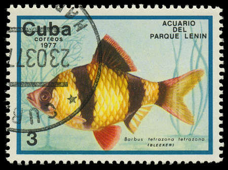 tetrazona: CUBA-CIRCA 1977  A stamp printed in Cuba shows fish Barbus tetrazona, circa 1977