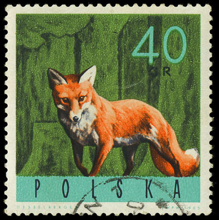 POLAND - CIRCA 1965  a stamp printed in the Poland shows Red Fox, Vulpes Vulpes, circa 1965 Stock Photo - 18111550