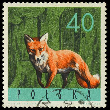 POLAND - CIRCA 1965  a stamp printed in the Poland shows Red Fox, Vulpes Vulpes, circa 1965 Stock Photo - 18111550