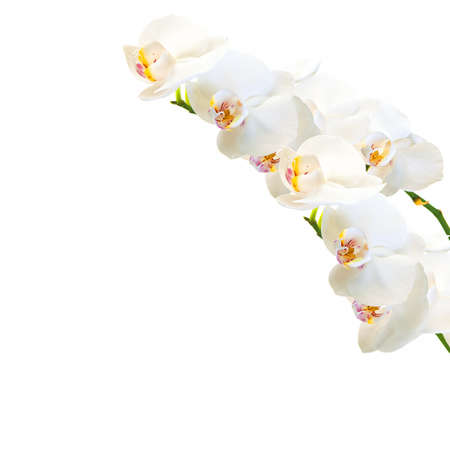 white and magenta phalaenopsis orchid isolated on white photo