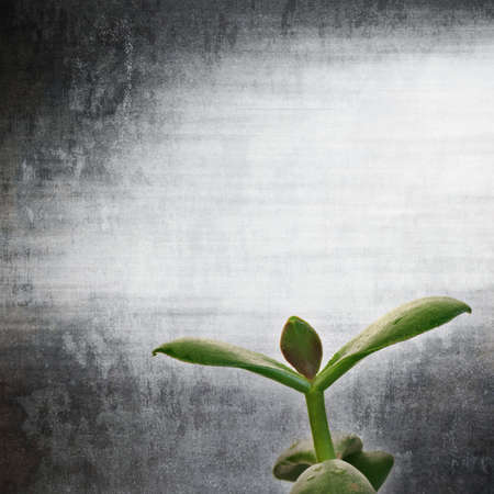 crassula ovata: textured old paper background with Crassula ovata C  argentea Stock Photo
