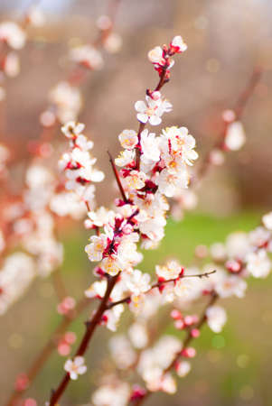 Spring blossom  branch of a blossoming apple tree on garden background Stock Photo