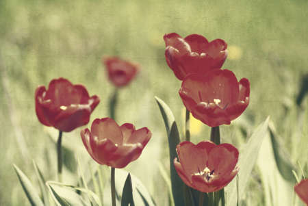 textured paper background: Red tulips, textured paper background Stock Photo