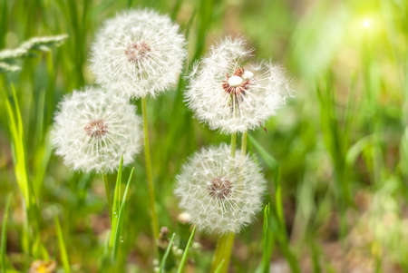 Dandelion under sun rays against a background of green blured lawn