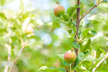 Peach Tree, ripening fruits on a tree