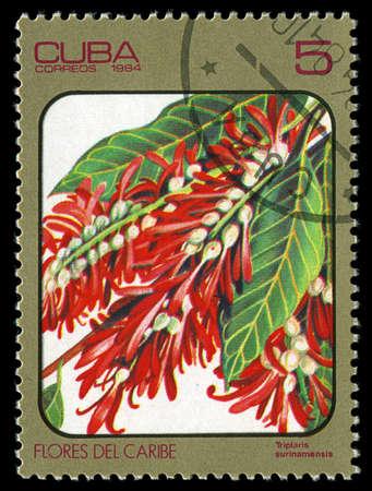 CUBA - CIRCA 1984: post stamp printed in Cuba shows image of triplaris surinamensis from Caribbean flowers series, Scott catalog 2689 A730 5c, circa 1984