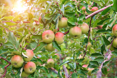 tree farming: Red apples on apple tree branch