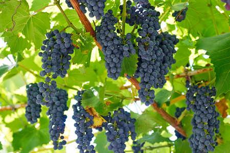 ツルのブドウのクラスターを登