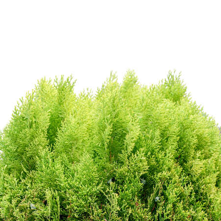 thuja: the young and green thuja  - isolated over white Stock Photo