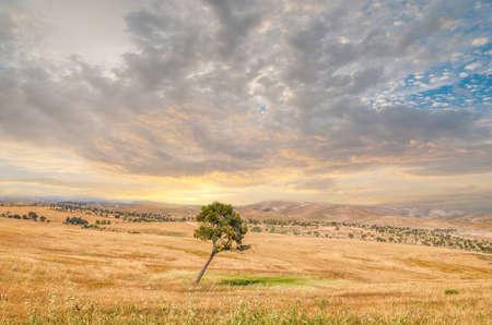 孤独な木、ネゲブ砂漠、エルサレム、イスラエル