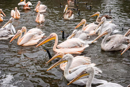 pelecanidae: Group of great white pelicans  swimming in the water
