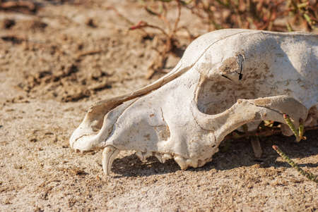 Old dog skull left in the grass