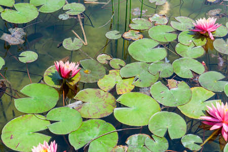 Waterlily in Ariel Sharon park , Israel Stock Photo