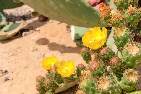 fruition: Thicket of cactus Opuntia ficus-indica in Negev desert.
