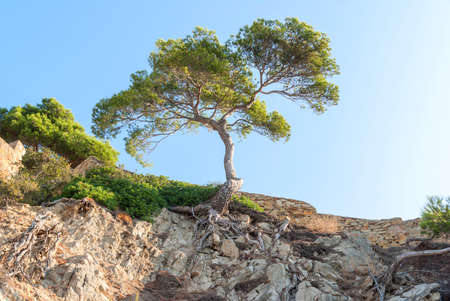 Lonely tree over a cliff covered with dry plants and roots in Catalonia Spain