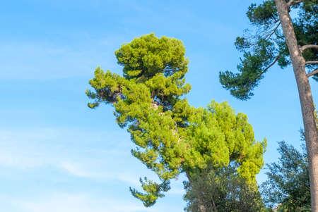 The stone pine, botanical name Pinus pinea, also known as the Italian stone pine, umbrella pine and parasol pine. 免版税图像 - 156343581