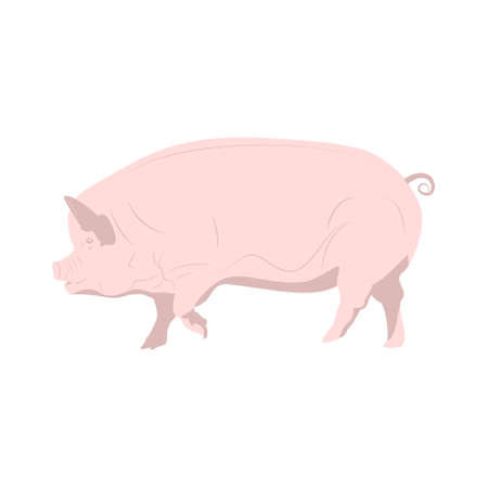 Domestic pink pig. Vector illustration isolated on white background 矢量图像
