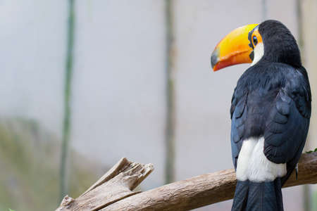 Tropical bird Toucan sitting on a branch. High quality photo