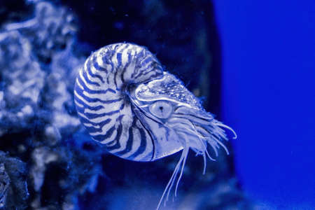 Monochrome image of the invertebrate mollusk Nautilus Pompilius. Stock Photo