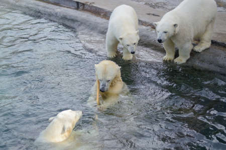 Small polar bear cubs with their mother bear, standing next to the water. Concept of protection of animals and wildlife.