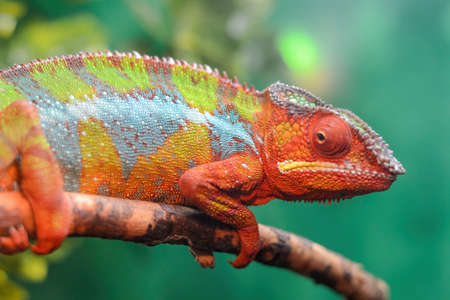 A beautiful, colorful chameleon sits on a branch. The bizarre animal was taken in close up.