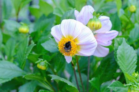 Shaggy, striped bumblebee pollinates white dahlia flower.