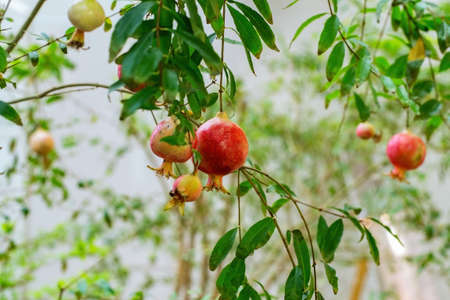 Red pomegranate fruits hang from a tree branch. Фото со стока