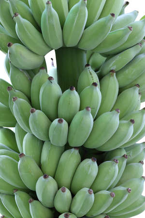 cultivated: bunch of green cultivated banana