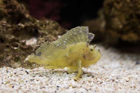 scorpionfish: the leaf scopionfish in aqarium Stock Photo