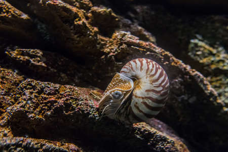 The chambered nautilus or Nautilus pompilius in aquarium