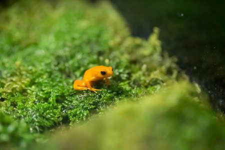 toxin: the golden pioson arrow frog on lemon grass