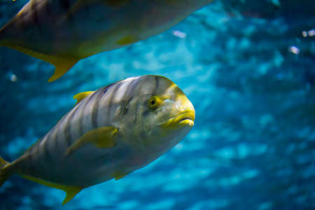 toothless: the golden toothless trevally in aquarium