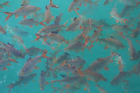 many red tailed tinfoil barb in clear green water at Rajjaprabha dam, Surat Thani, Thailand Stock Photo
