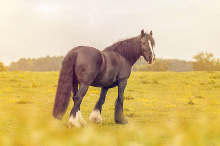 to tinker: Tinker horse on a meadow Stock Photo