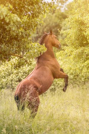 gelding: rearing horse on the open meadow
