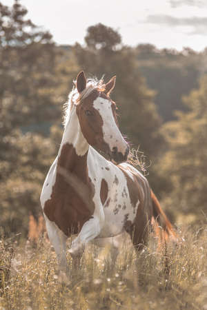 yegua: Paint horse mare