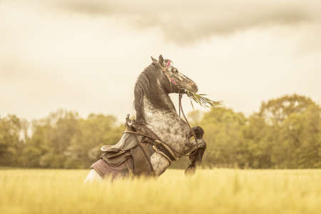 western saddle: Western horse rises in wheat field Stock Photo