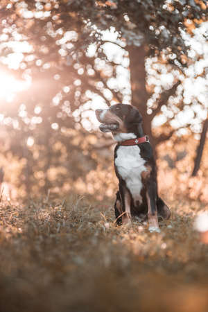 sennen: Greater Swiss Sennen dog in sunset