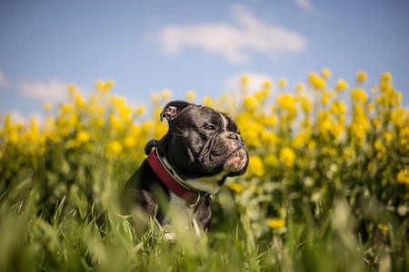 old english: Old English Bulldog