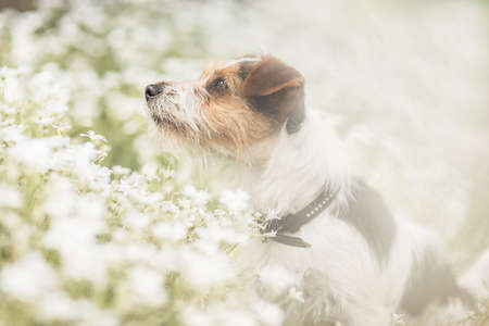 Jack Russel young dog in flower meadow