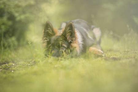 Young German Shepard in the meadow