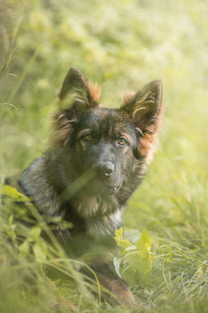 Young German Shepard in the meadow