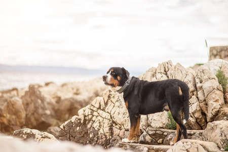 sennen: Greater Swiss Sennen dog on the sea beach