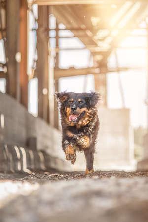sennen: Mongrel Sennen dog and Rottweiler