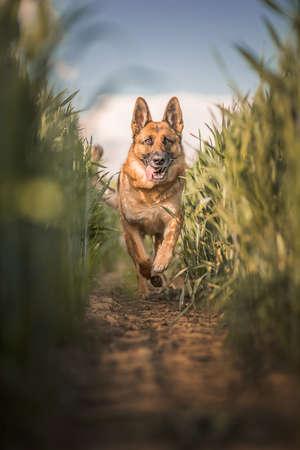 champ de mais: shepard allemand en champ de maïs