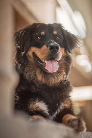 sennen: Mongrel Mountain Dog and Rottweiler