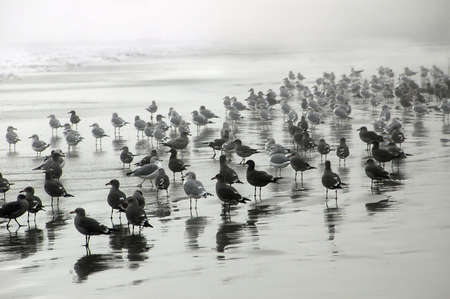 Seagulls are waiting for swim time ona  misty day.